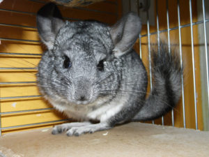 chinchilla-haltung
