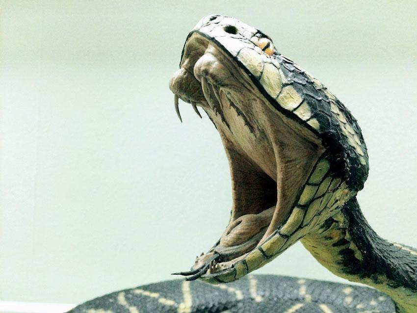 giftschlangen