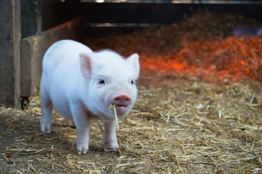 minischwein-haltung