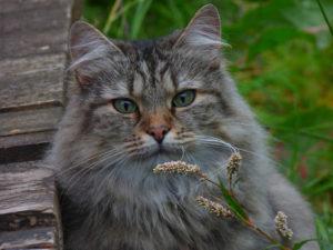 norwegian-forest-cat-1711_1920