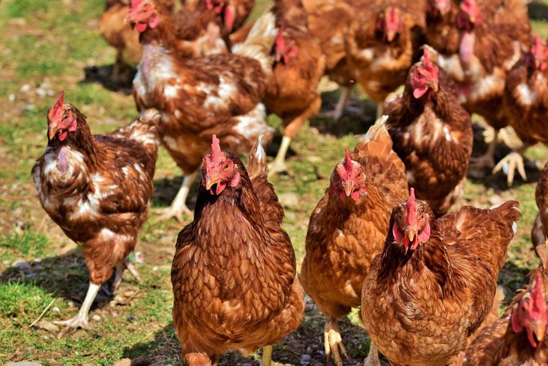 braune-hühner