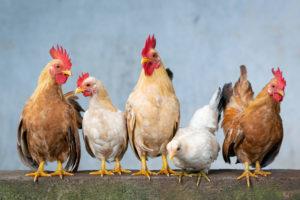 bunte-hühner