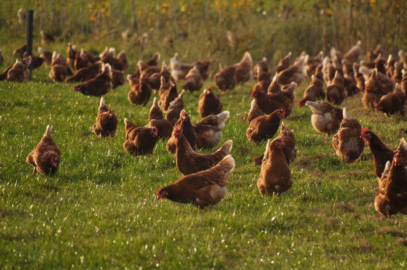 hühner-wiese