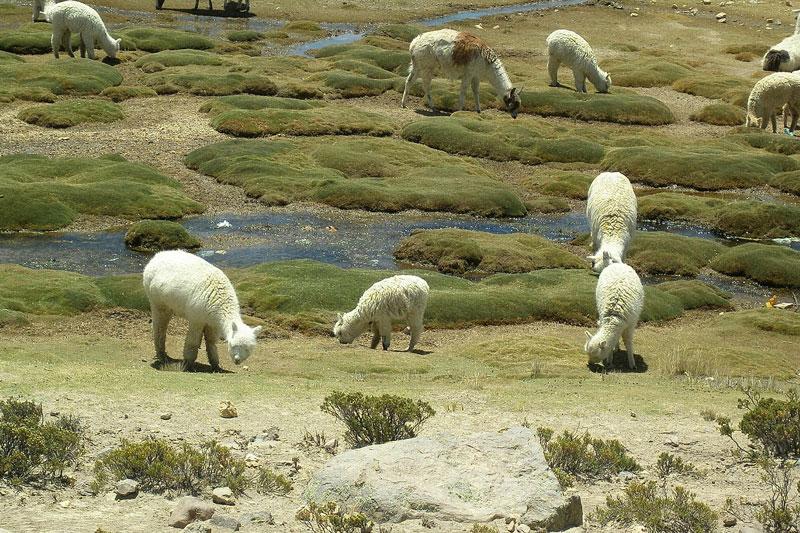 lama-herde