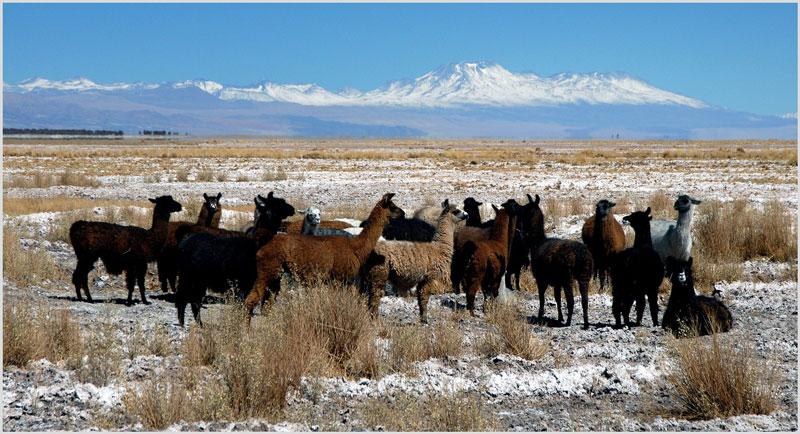lamas-steppe