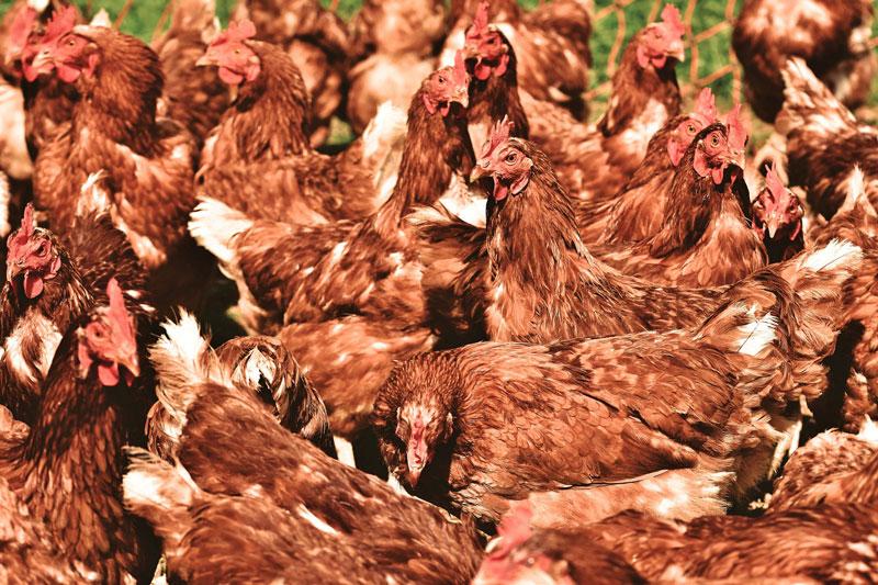 viele-hühner