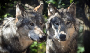 wolf-titel