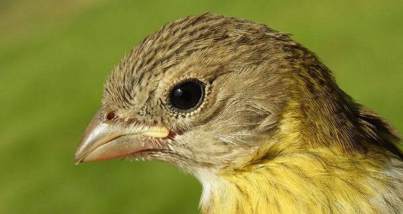 bird-rasse