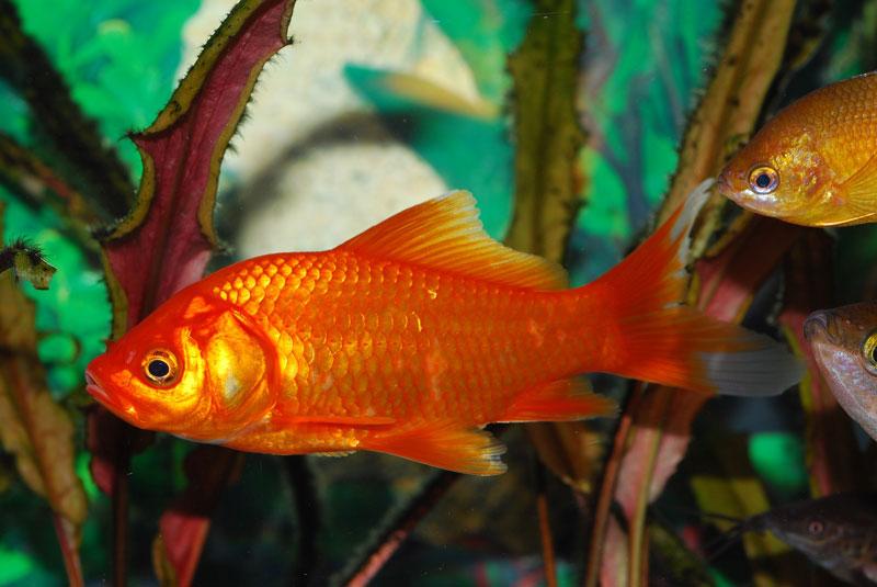 fisch-rot