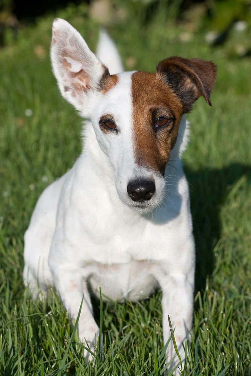 fox-terrier-glatt