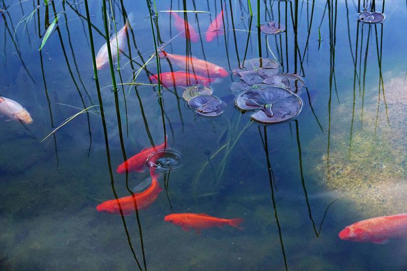 goldfish-titel