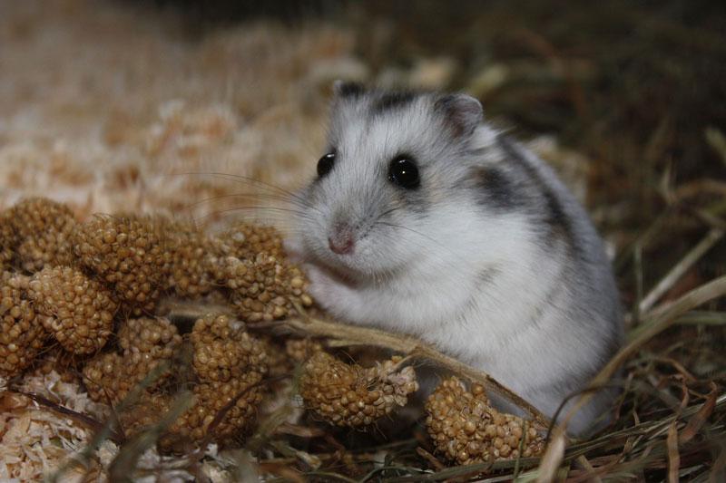 hamster-futter