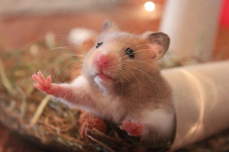 hamster-titel