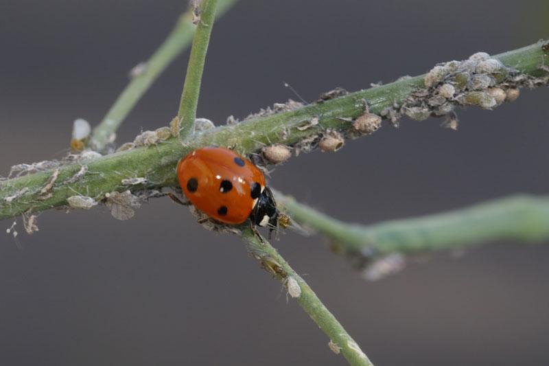 käfer-läuse