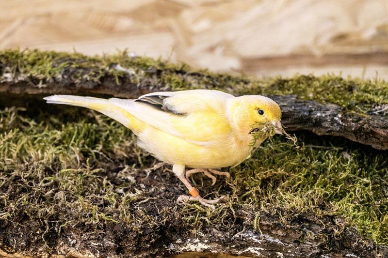 kanarienvogel-nest