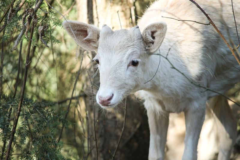reh-albino
