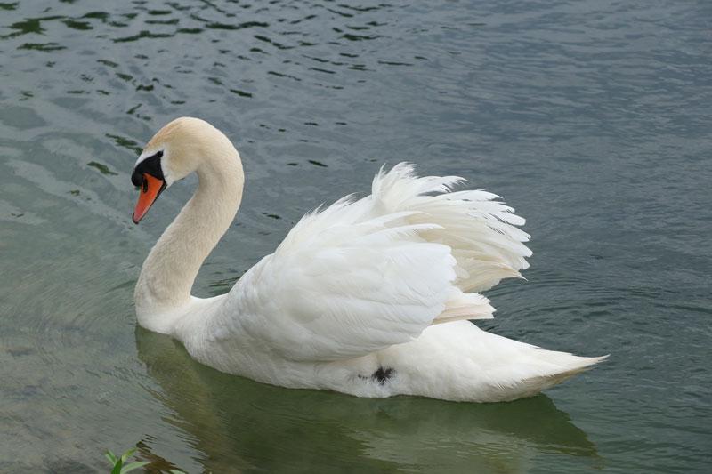 schwan-aussehen