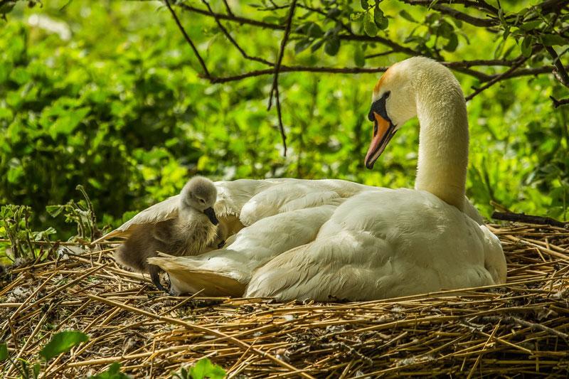 schwan-nest