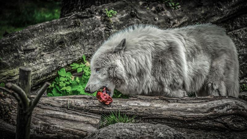 wolf-fressen