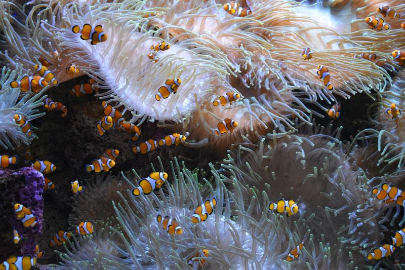 clownfisch-aquarium