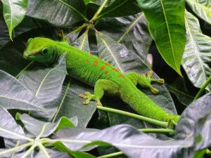 gecko-titel