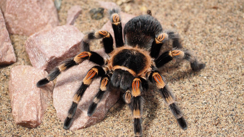 tarantula-titel