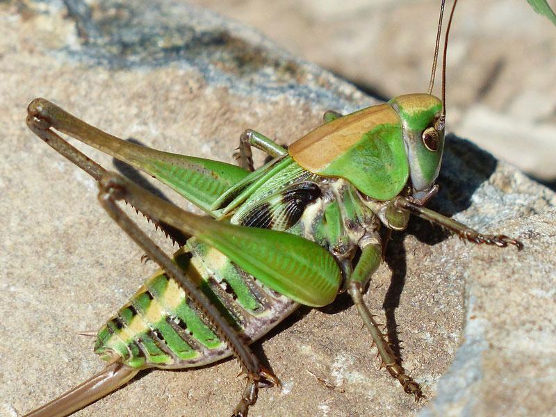 grasshopper-titel