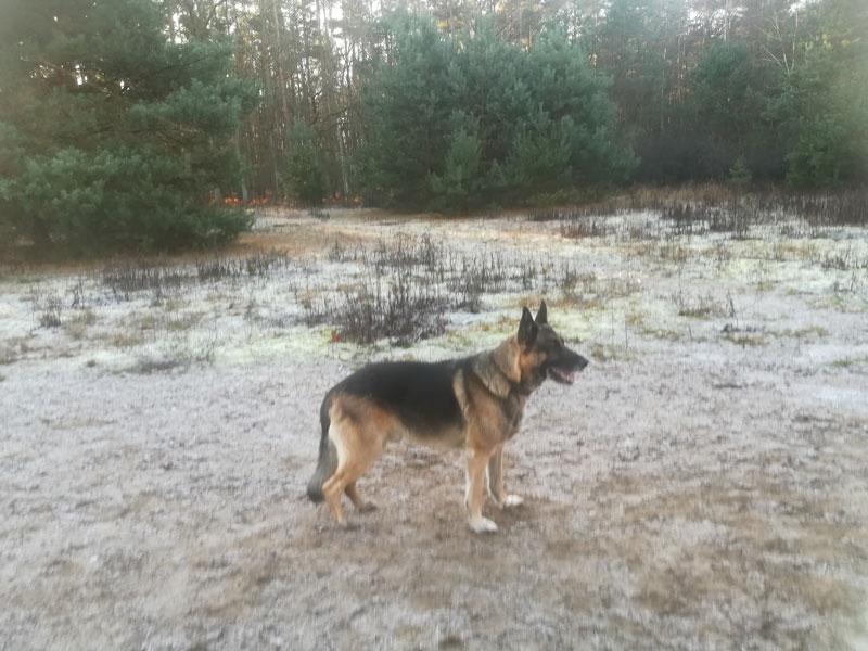 leo-schäferhund