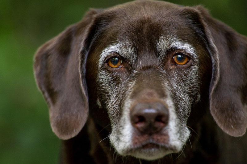 Älterer-Hundesenior