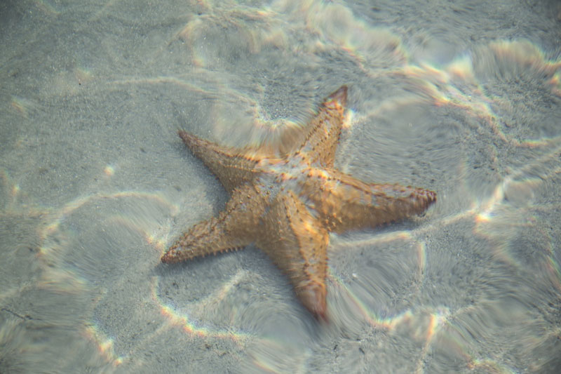Meer-Seestern
